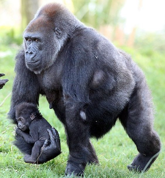 Gorilla babe in arms: It may be time to stand on his own two feet, but Kukena…