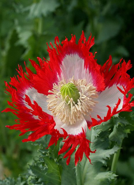 Papaver Danebrog by anniesannuals, via Flickr
