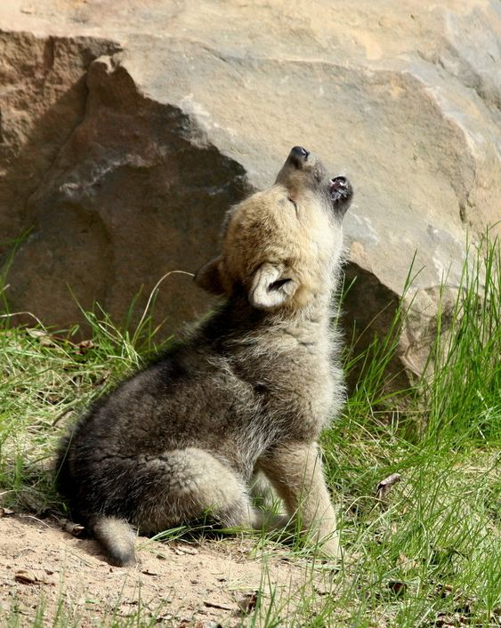 """""""Wolf Cub in Conversation"""" by Robert Thommes: Wolf cubs were hanging out near a den, as this one decided to try and strike up a conversion with it's siblings. Turned out it was the only one interested in """"talking"""" at that moment."""