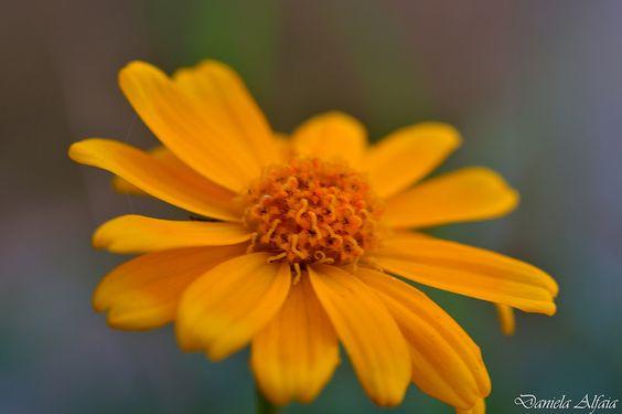 Margarida pequena amarela