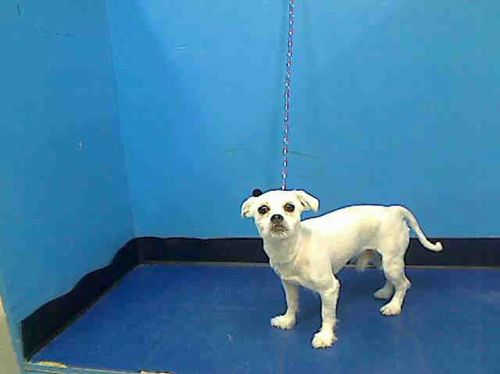 Manhattan Center   GLEASON - A0959713  *** RETURNED ON 4/8/14 *** BLOOD IN STOOL ***  NEUTERED MALE, WHITE, SHIH TZU MIX, 3 yrs OWNER SUR - ONHOLDHERE, HOLD FOR ID Reason MOVE2PRIVA  Intake condition NONE Intake Date 04/08/2014, From NY 10037, DueOut Date 04/08/2014,  https://www.facebook.com/photo.php?fbid=784275844918630&set=a.617938651552351.1073741868.152876678058553&type=3&theater