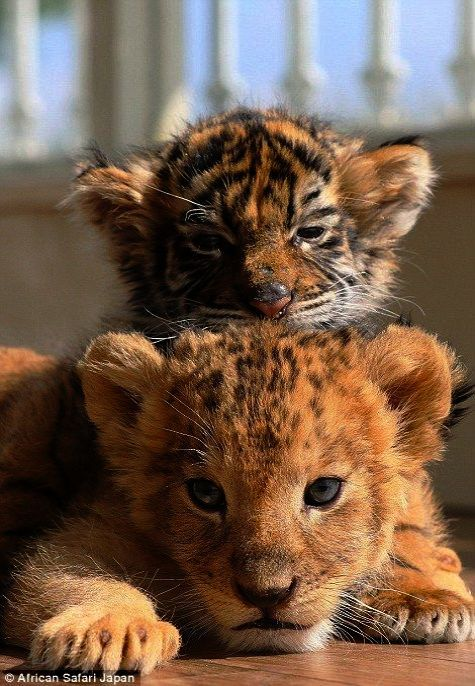 Cool Kittens Near Me For Sale Craigslist D Animals Beautiful Cute Baby Animals Cute Animals