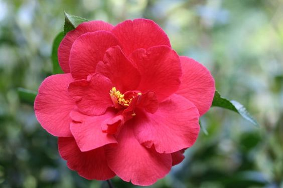 Camellia japonica 'Flame' (imported to U.S. from Japan, c.1917)