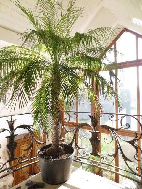 Palme Wohnzimmer Wohnzimmer Palmefurdaswohnzimmer Palmewohnzimmerschatten Palmewohnzimmeruberwintern Wohnzimmerpalmepflege Palmen Palmen Arten Und Stauden