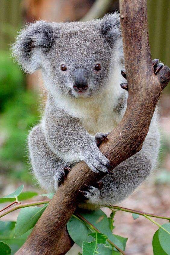 Pin Von Gail Valleau Auf 01 Marsupials Koala Baby Tiere Und