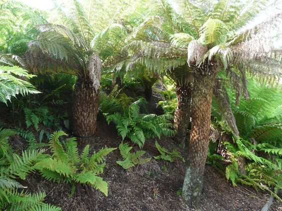 Australian tree ferns add tropical appeal to your garden. These unusual plants have a thick, straight, woolly trunk topped with large, frilly fronds. Learn more about them in this article.