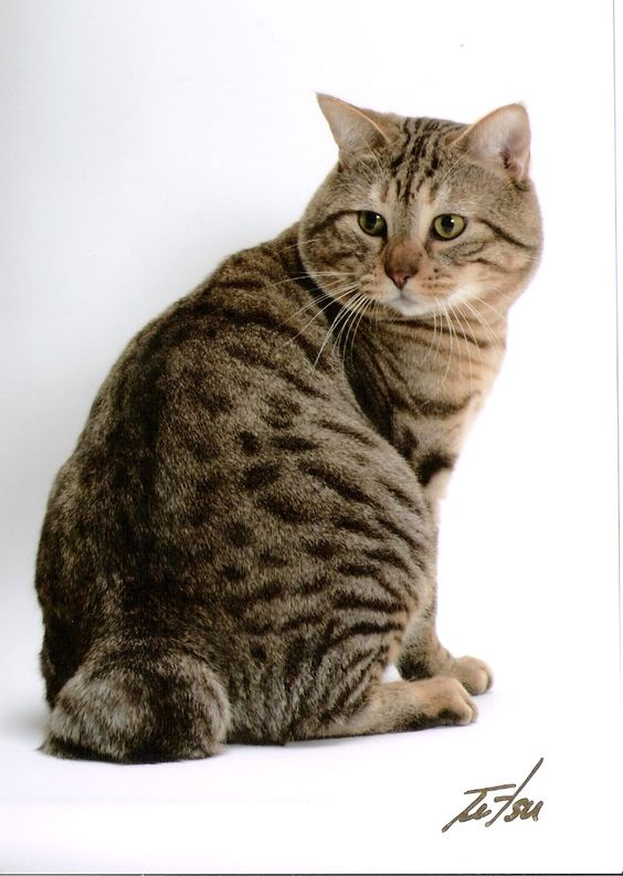 Tabby Cat Breed With Stubby Face