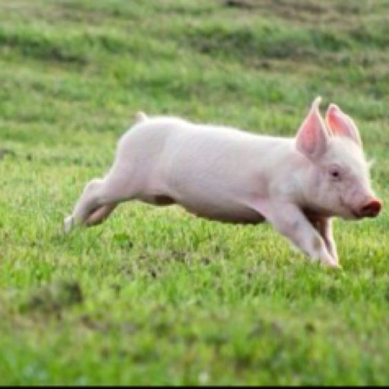 Piggie on the run:: More