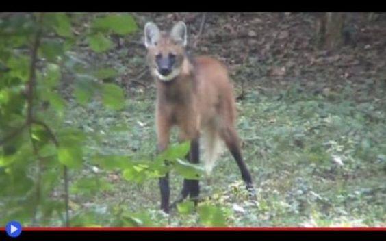 Echi della pampa: lo strano abbaio del cervo-cane Un fruscio tra l'erba sudamericana, un movimento ai margini del proprio sguardo. All'improvviso, in mezzo alla vegetazione, si palesano due orecchie triangolari. Una volpe rossa? A queste latitudini? #animali #mammiferi #canidi #lupi