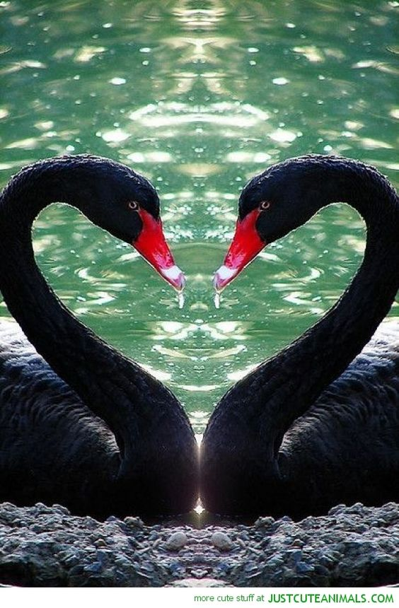 black swan animal - photo #28