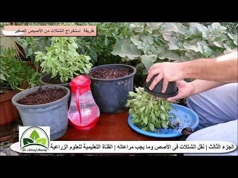93 زراعة الريحان الحبق في الأصص بالتفصيل الزراعة المنزلية بلكونة Youtube Agriculture Plants