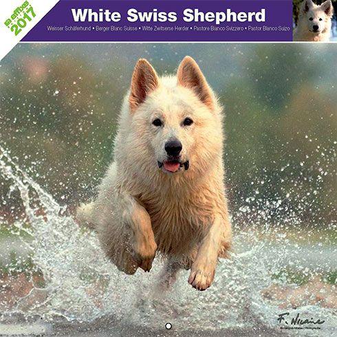Calendrier chien 2017 - Race Berger Blanc suisse - Affixe Edition