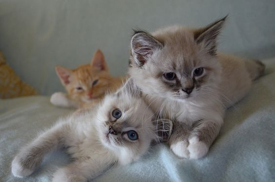 more pretty cats by *lalalaurie on Flickr