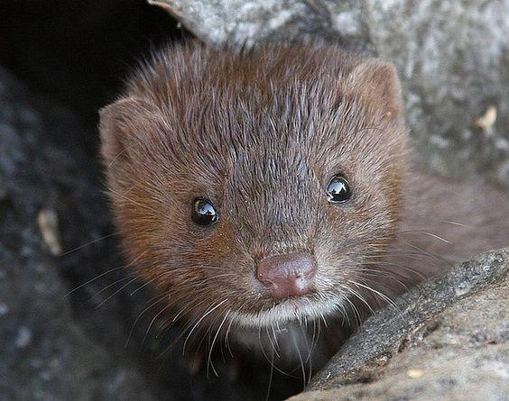 Baby Mink  (c) Dave Rott (daver701)