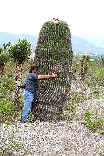 flora-file: Weirdo hugs huge cactus (by amy_b) Echinocactus platyacanthus. Outside of Jaumave, Tamaulipas, Mexico:
