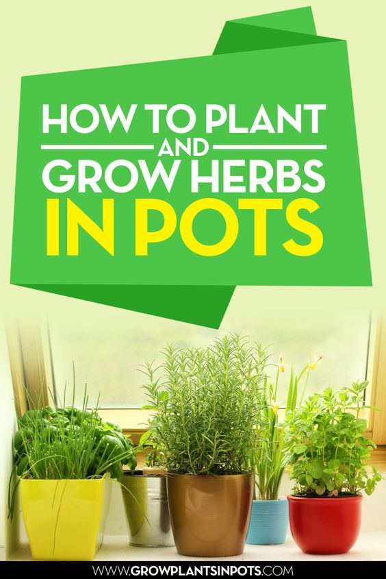 How to Plant and Grow Herbs in pots