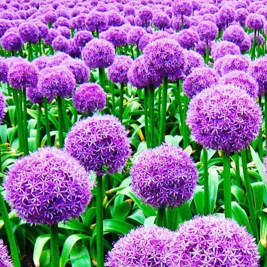 Fiori Km 0.Stupendi Cipolla Cipolle Fiore Fiori Flowers Giardinaggio