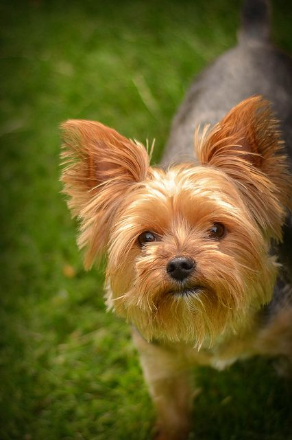 A handsome Yorkie