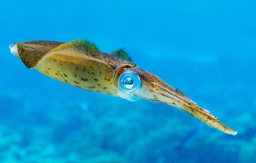 Carribean Reef Squid (by Blake Corcoran)