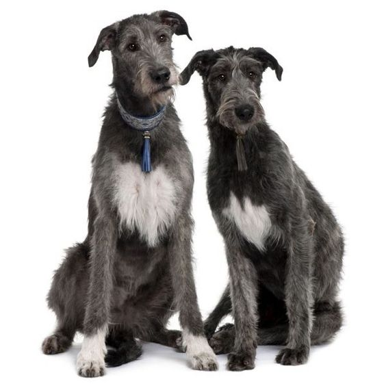 Irish Wolfhound ❤ liked on Polyvore featuring animals and dogs