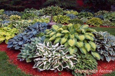 Хоста - Декоративные растения - Усадьба - Библиотека - Семейная ферма