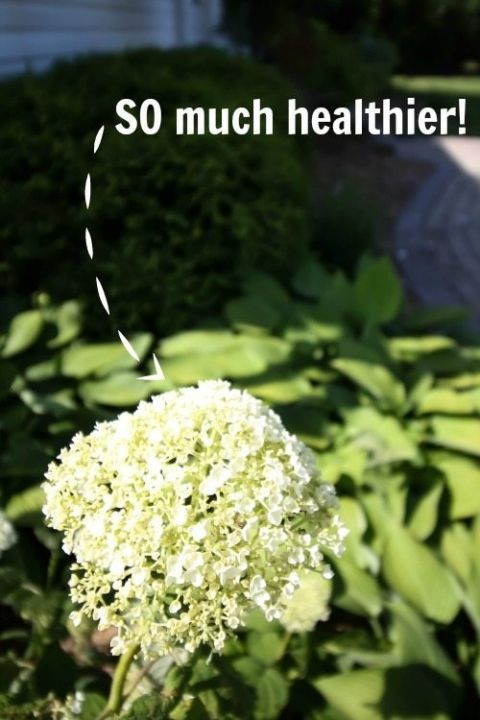 Try This Simple Hydrangea Trick If Your Plants Never Quite Look As Beautiful As You D Like Them To Hydrangea Care Hydrangea Garden Garden Shrubs