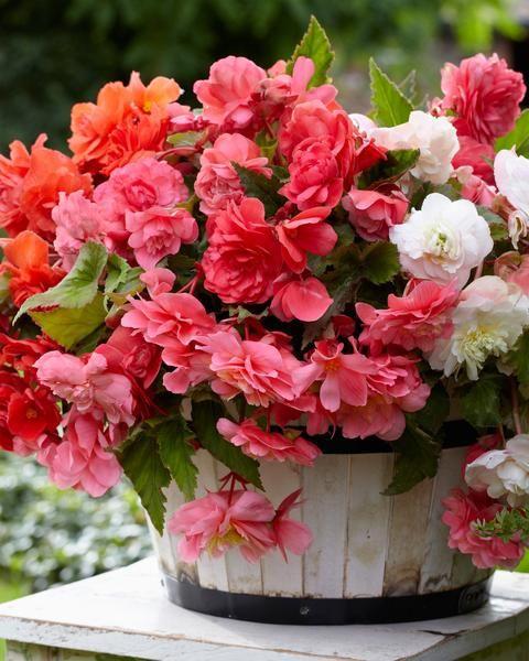 Begonia Odorata Mixed Colours Begonia Trees To Plant Plants