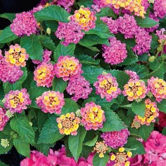 "Petite Rose Lantana Height: 12-15""  Plant Width: 12-15""  Planting Distance: 10""  Light: Sun  Bloom Time: Summer-Fall"