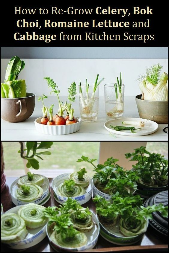 How To Re Grow Celery Bok Choi Romaine Lettuce Cabbage From