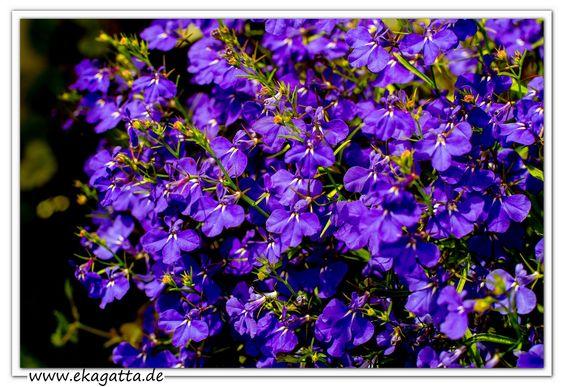 Männertreu, auch Blaue Lobelie genannt, ist eine Pflanzenart aus der Familie der Glockenblumengewächse. * Achtsamkeit Wiesbaden * www.ekagatta.de *
