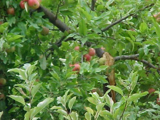 broken apple tree branch, gardening