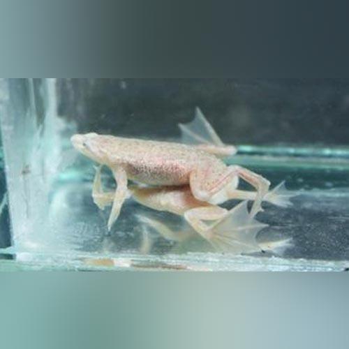 Blond Dwarf Frog Dwarf Frogs Albino African Community Fish Tank