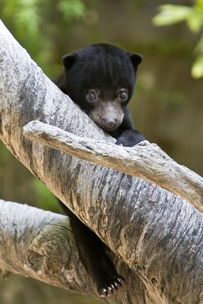 Sun bear cub--I've loved Sun Bears since volunteering at the zoo in New Orleans, where I first discovered them. Baby Sun bears are even cuter than baby Polar bears!