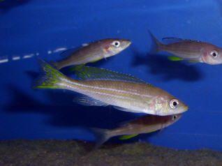 Paracyprichromis brieni Chituta-isabi.de
