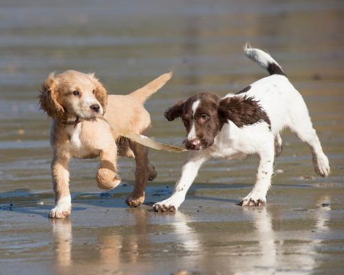 Cocker Spaniel Versus Springer Spaniel What Owners Need To Know Springer Spaniel Puppies Cocker Spaniel Grooming Cocker Spaniel