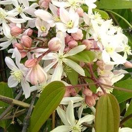 Belle grimpante au feuillage persistant. <br>Petites fleurs rose tendre, au parfum de fleur d'oranger et de vanille, au printemps. <br>Idéal pour treilles, pergolas ou en bac sur la terrasse.
