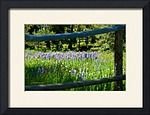Lupine framed in rail fence by Sam Sherman in WyomingSummer on Photography By Sherman's Store