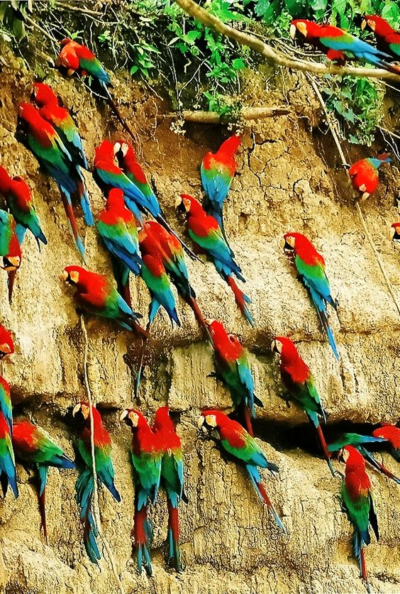 Macaws eating green clay to counteract alkaloids