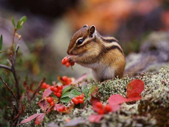 Siberian ground #squirrel