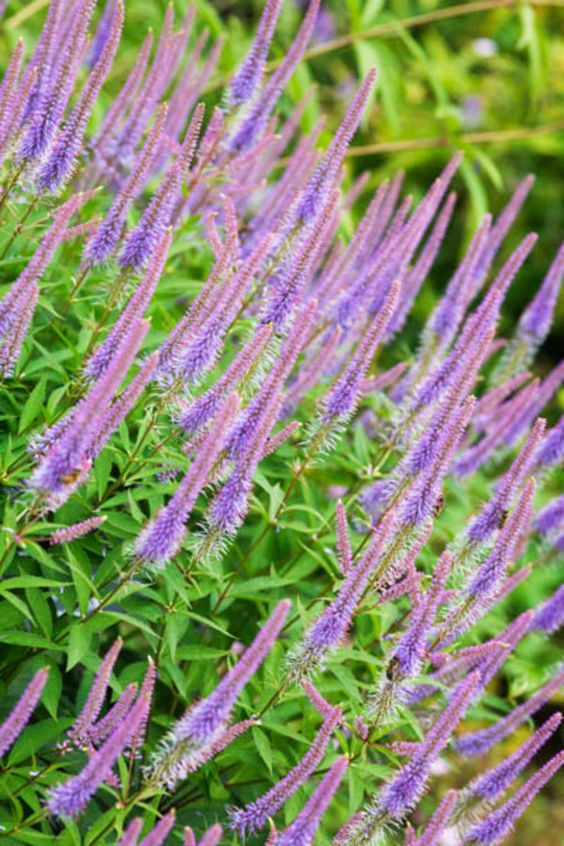 Graceful and bountiful flowers! Veronicastrum Virginicum 'Fascination' displays eye-catching branching spires of light violet-blue flowers from mid to late summer