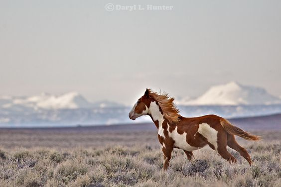 Wild Sorrel Paint Mustang Galloping on the Plains.