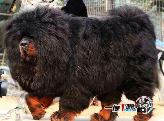 Small Tibetan Guard Dog