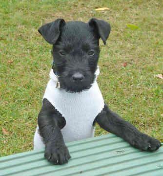 Patterdale Terrier: