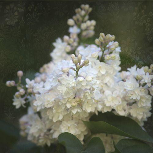 rosemarydanielis: flores Double-brancas com um velho-rosa blush, o lilás Beauty of Moscow.