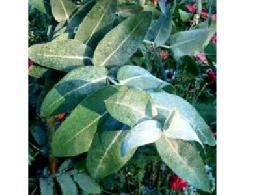 Eucalipto (óleo essencial)