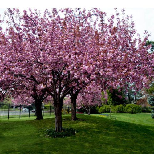 Prunus Kanzan Pink Cherry Blossom Tree Clarenbridge Garden Centre Ornamental Cherry Ornamental Trees Prunus