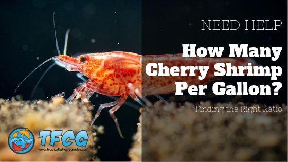 How Many Cherry Shrimp Per Gallon Cherry Shrimp Fish Care Red Cherry Shrimp