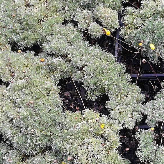 Cotula hispida - Cotule hérissé vivace