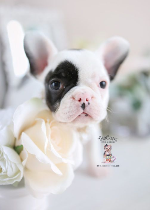 Cutefrenchie Cutefrenchbulldog Frenchbulldog Frenchie Teapottea Bulldog Puppies French Bulldog Puppies Puppies For Sale