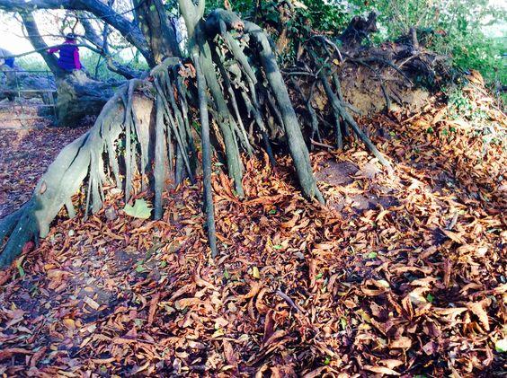 Tree roots. Halloween. Wiltshire.  Glyn Overton.